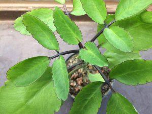 Zdjęcie Żyworódka Kalanchoe pinnata w doniczce - zioła i roślina lecznicza